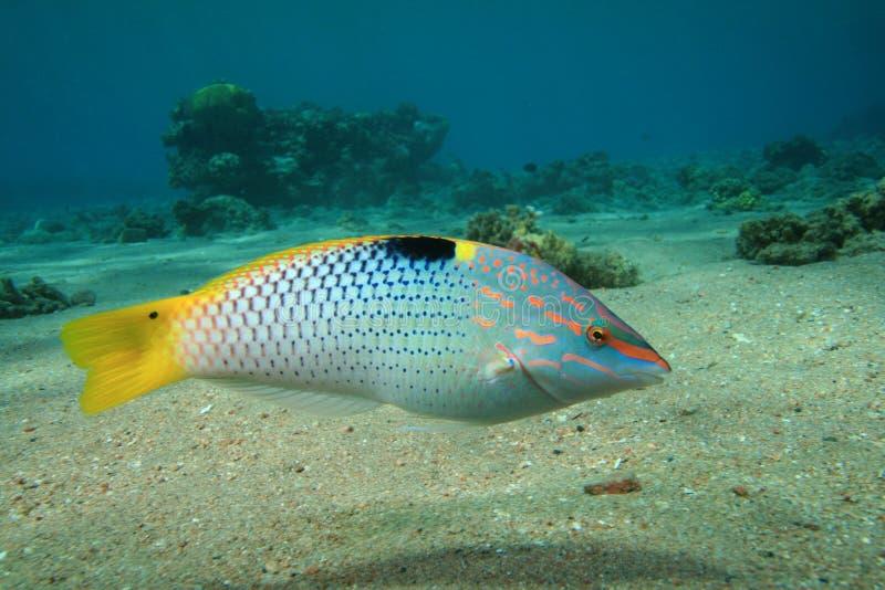 kolorowy rybi tropikalny obraz royalty free
