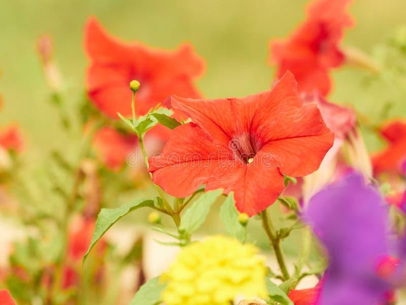 Kolorowy skład menchie, kolor żółty, czerwoni kwiaty petunia zdjęcia stock