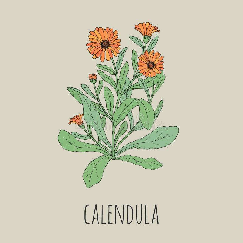 Kolorowy szczegółowy rysunek kwitnący calendula Piękna lecznicza zielna roślina z kwiatami i liście wręczamy patroszonego ilustracja wektor