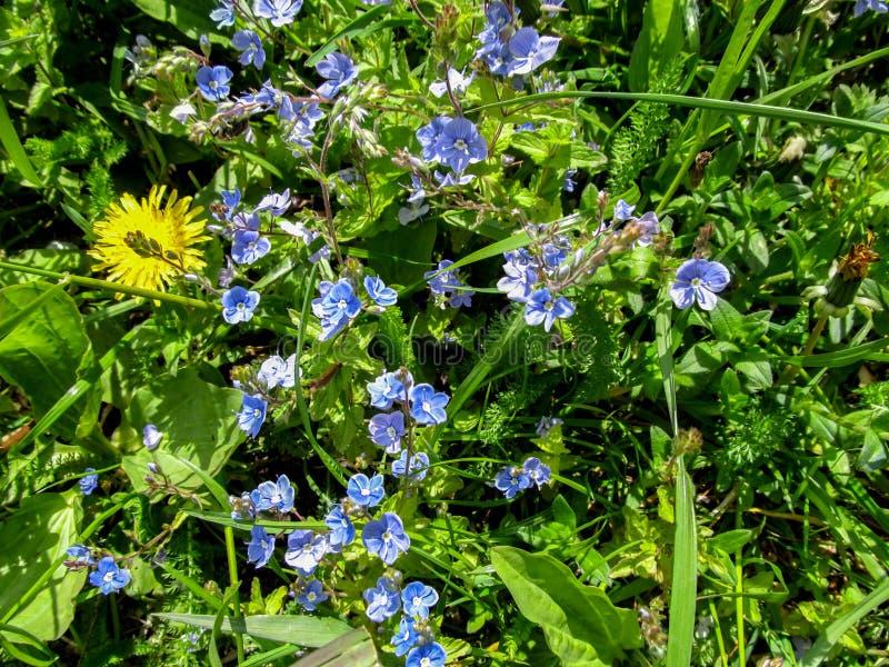 Kolorowy tło błękitni i żółci łąkowi florets w wczesnego lata zakończeniu zdjęcia royalty free