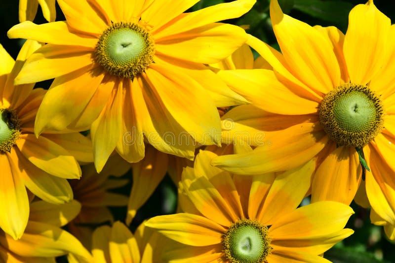 Kolorowy Tithonia jest jednakowy słonecznik zdjęcie royalty free