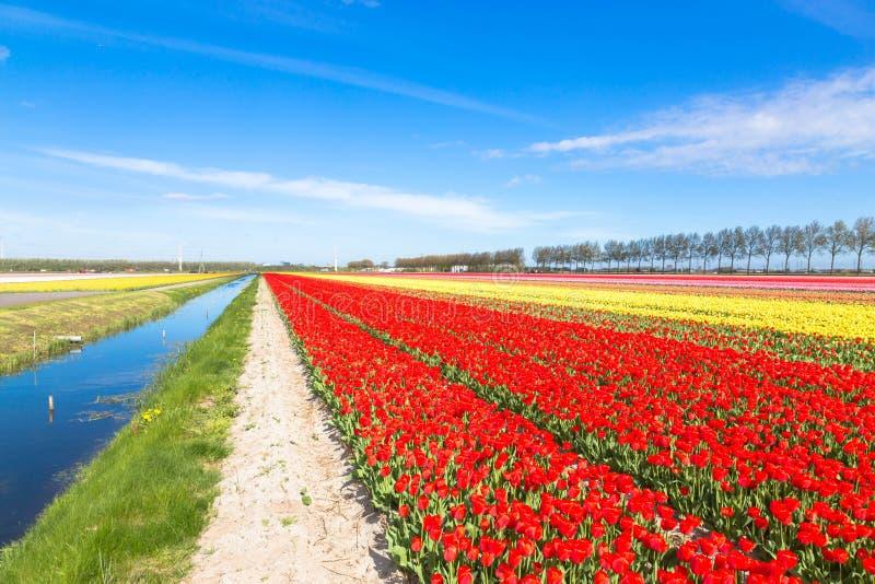Kolorowy tulipanowy kwiatu pole Stubarwni jaskrawi tulipanów kwiaty obrazy royalty free