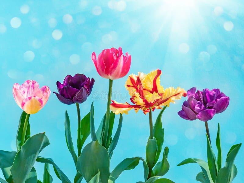 Kolorowy tulipanu bukiet na błękicie t?a natury przestrzeni wiosna tekst tw?j obrazy royalty free