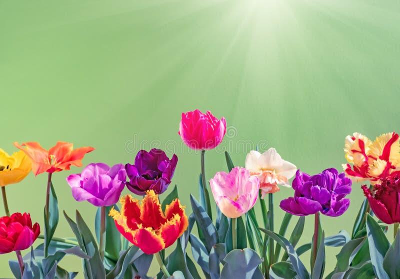 Kolorowy tulipanu bukiet t?a natury przestrzeni wiosna tekst tw?j zdjęcie stock