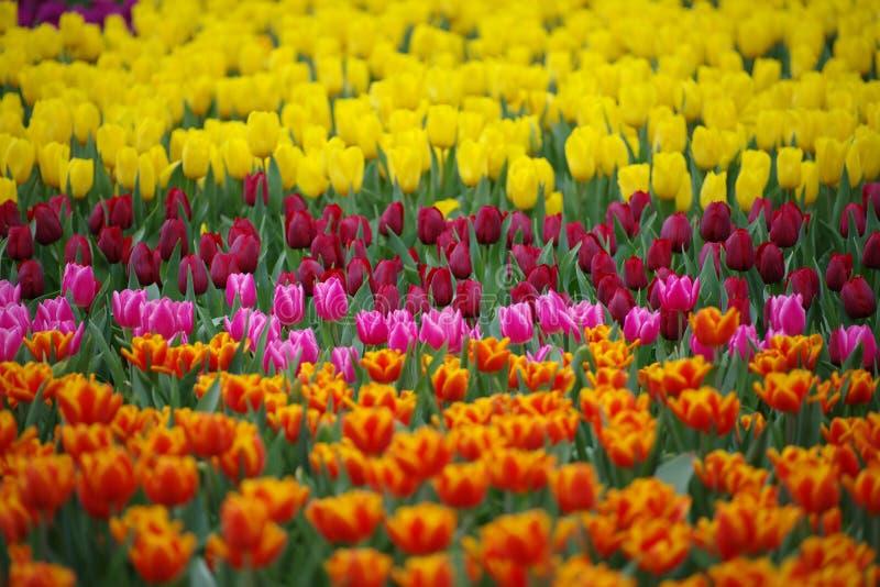 Kolorowy tulipanu pole w wiosna wzorze lub tle obraz royalty free