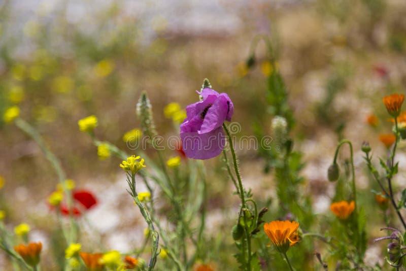Kolorowy wiosny pole kwitnie w Sicily, Włochy fotografia royalty free