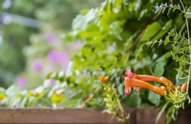 Kolorowy zamazany bokeh ogródu tło z drewnianym ogrodzeniem wzdłuż dna i Tubowy winograd kwitniemy takielunek - Campsis radicans  obraz stock