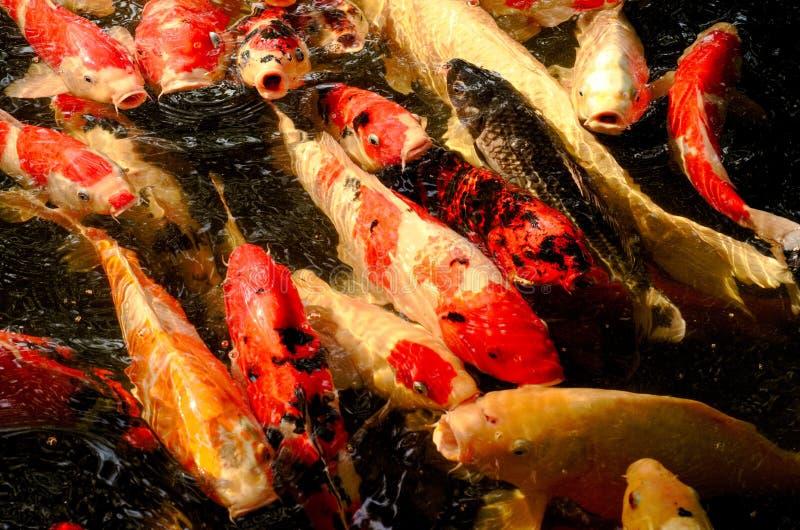Kolorowy zbliżenie obrazek Koja lub karp ryba który są japońskim rybą w stawie obrazy stock