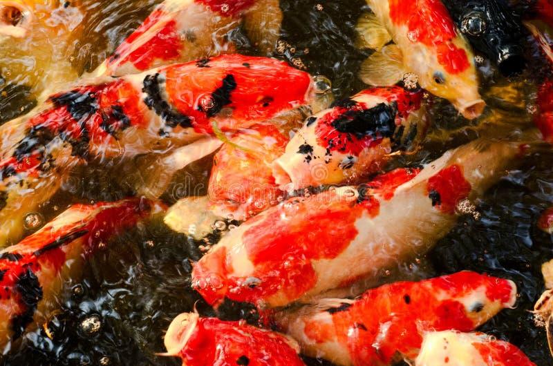 Kolorowy zbli?enie obrazek Koja lub karp ryba kt?ry s? japo?skim ryb? w stawie obrazy royalty free