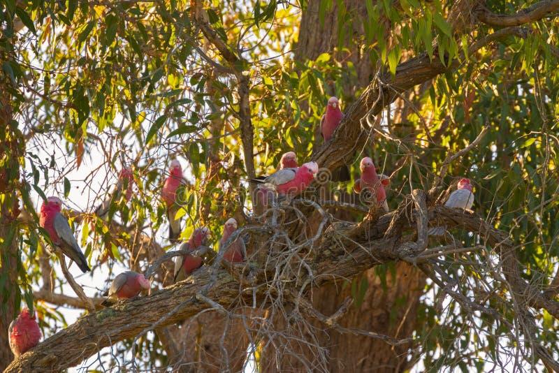 Kolorowych i hałaśliwie Galah menchii szary ptak, róża kakadu zdjęcie royalty free
