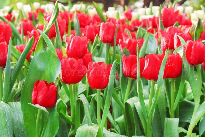 Kolorowych ornamentacyjnych kwiatów czerwony tulipan z wodnymi kroplami grupuje naturalnych wzory kwitnie w ogródzie dla tła fotografia royalty free