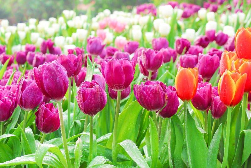 Kolorowych ornamentacyjnych kwiatów purpurowy tulipan z wodnymi kroplami grupuje naturalnych wzory kwitnie w ogródzie dla tła obrazy stock