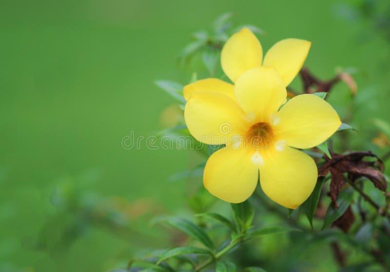 Kolorowych słodkich kwiatów allamanda żółty cathartica z zielonym trzonem i liśćmi kwitnie w ogródzie obraz stock