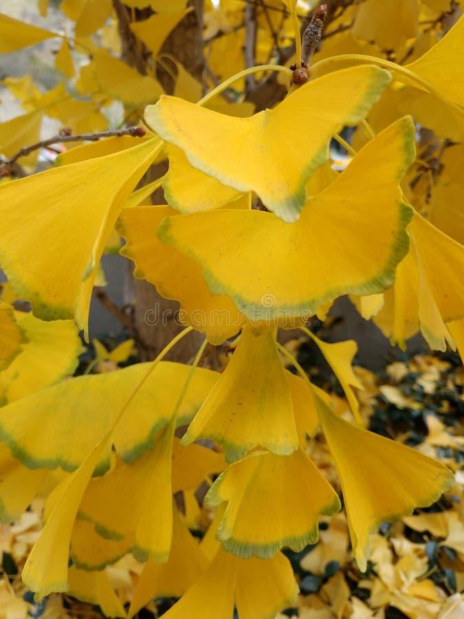 koloru żółtego biloba liści zieleń rimmed - drzewne liść gałąź zdjęcia stock