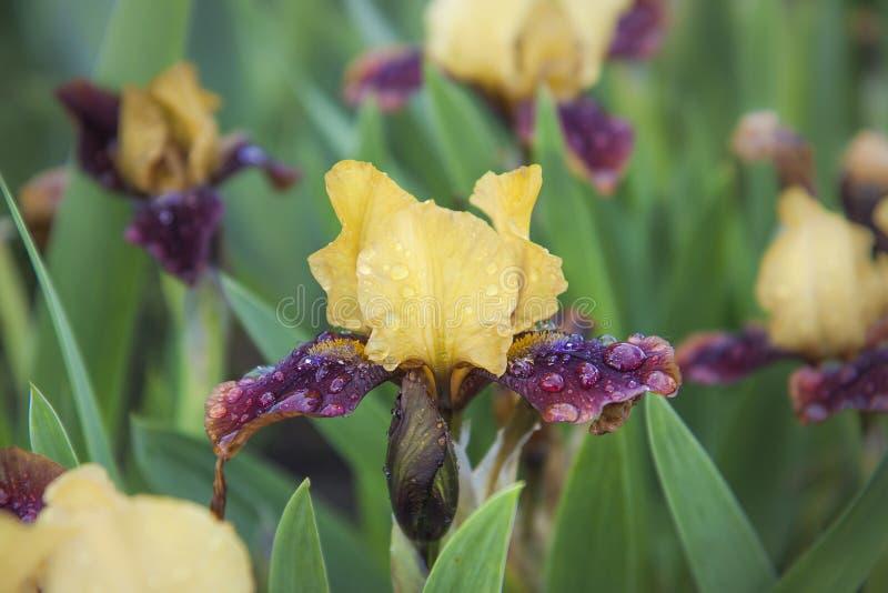 Koloru żółtego Burgundy irysy kwitną w trawie po deszczu Aksamitni płatki zakrywali raindrops zdjęcia stock