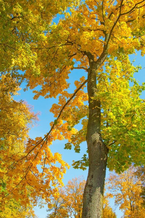 Koloru żółtego i zieleni jesienny drzewo fotografia stock