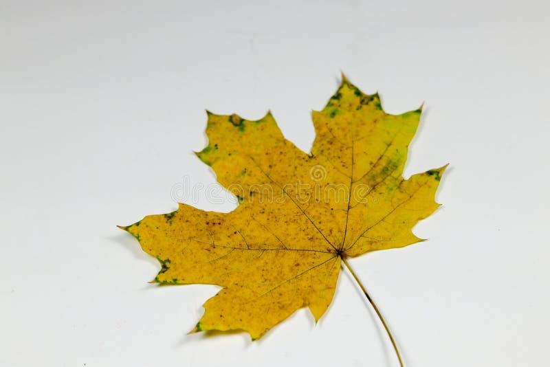 Koloru żółtego i zieleni liść obrazy royalty free