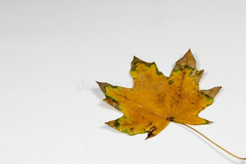 Koloru żółtego i zieleni liść zdjęcia royalty free