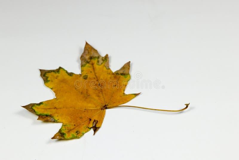 Koloru żółtego i zieleni liść zdjęcie royalty free