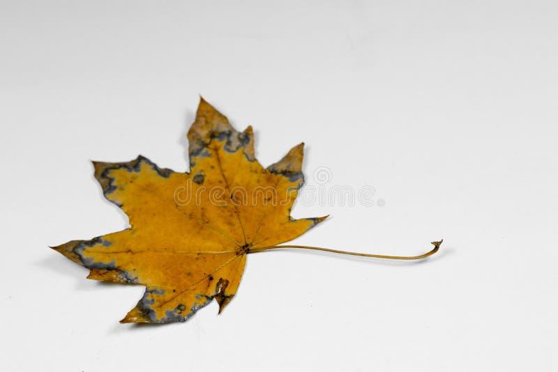 Koloru żółtego i zieleni liść obrazy stock