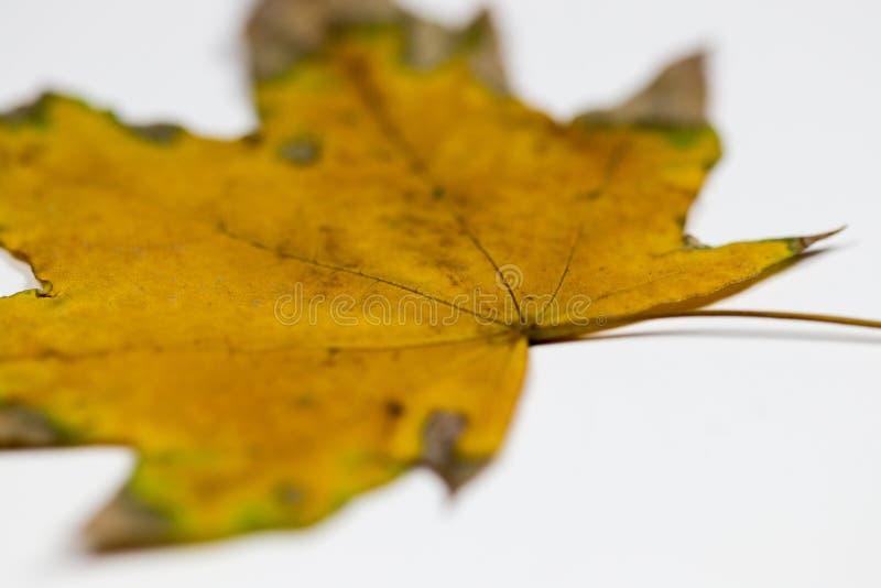 Koloru żółtego i zieleni liść obraz royalty free