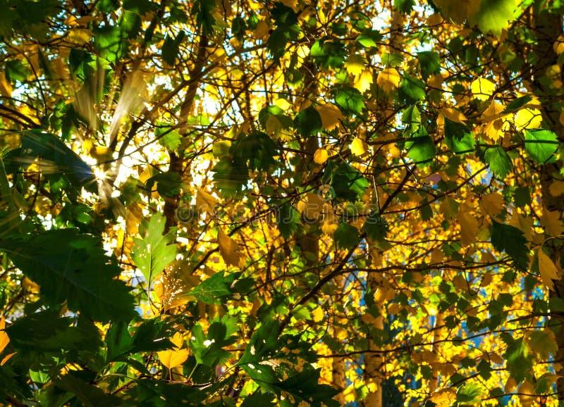 Koloru żółtego I zieleni liście Zaświecający The Sun promieniami kolorowe tło Jesieni Złoty ulistnienie zdjęcia royalty free