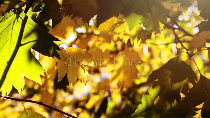 Koloru żółtego I zieleni liście Zaświecający The Sun promieniami kolorowe tło Jesieni Złoty ulistnienie zdjęcie royalty free