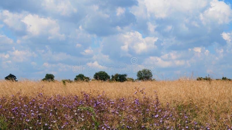 Koloru żółtego niebieskie niebo w chmurach i pole zdjęcia royalty free