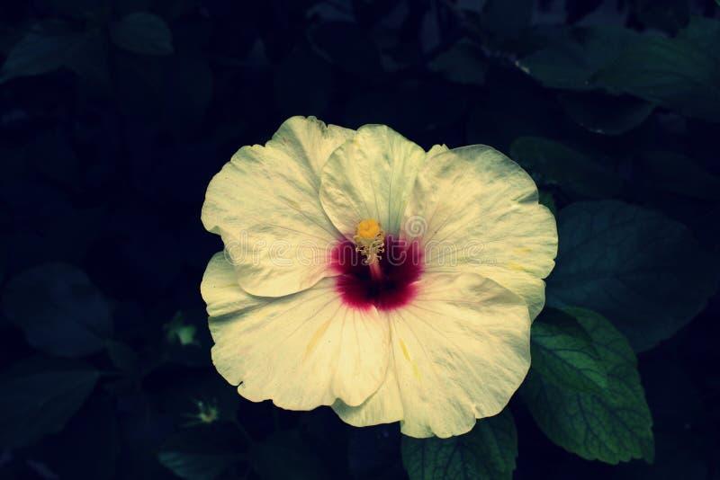 Koloru żółtego ogródu kwiat z liśćmi na czarnym tle pi?kny hibiskus zdjęcia royalty free