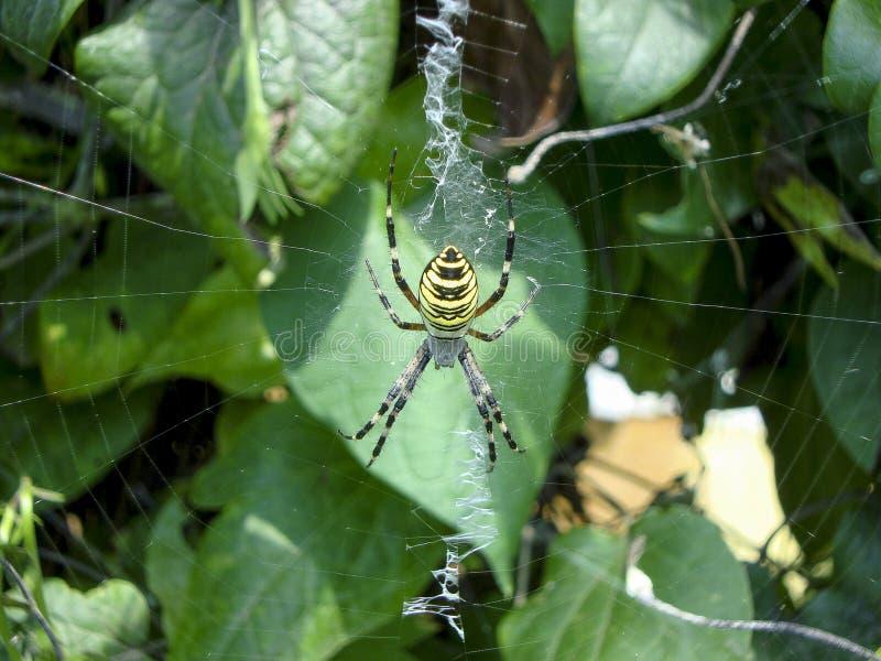 Koloru żółtego pająk zdjęcia royalty free
