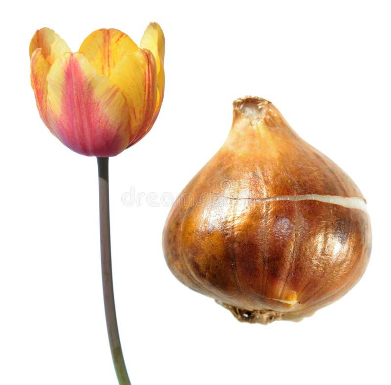 Koloru żółtego pojedynczy opóźniony tulipanowy kwiat z tulipanową żarówką odizolowywającą na bielu zdjęcia royalty free