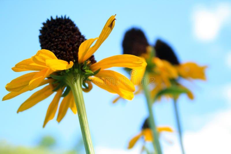 Koloru żółtego rożek kwitnie cztery zdjęcia royalty free