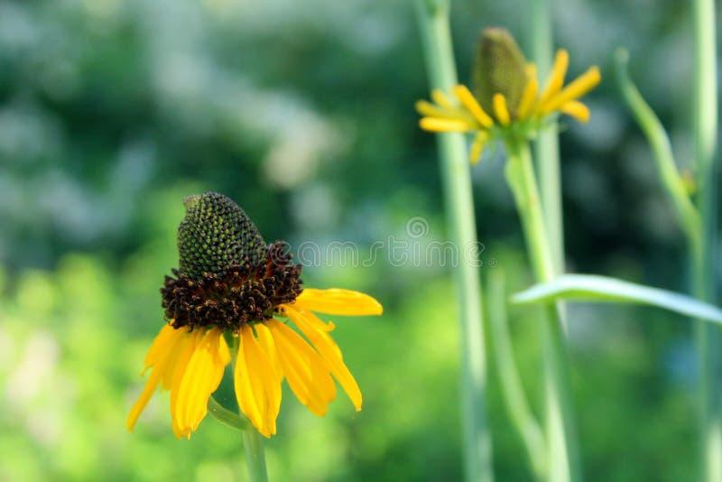 Koloru żółtego rożka kwiatów dwa strzał zamknięty up od strony obraz stock