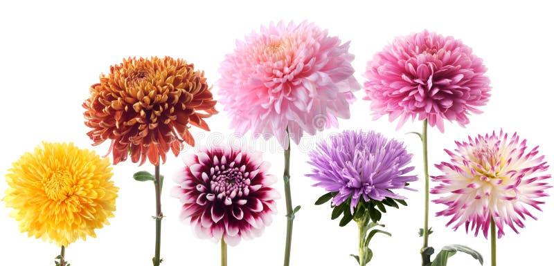 koloru dalii różni kwiaty ustawiający obraz stock