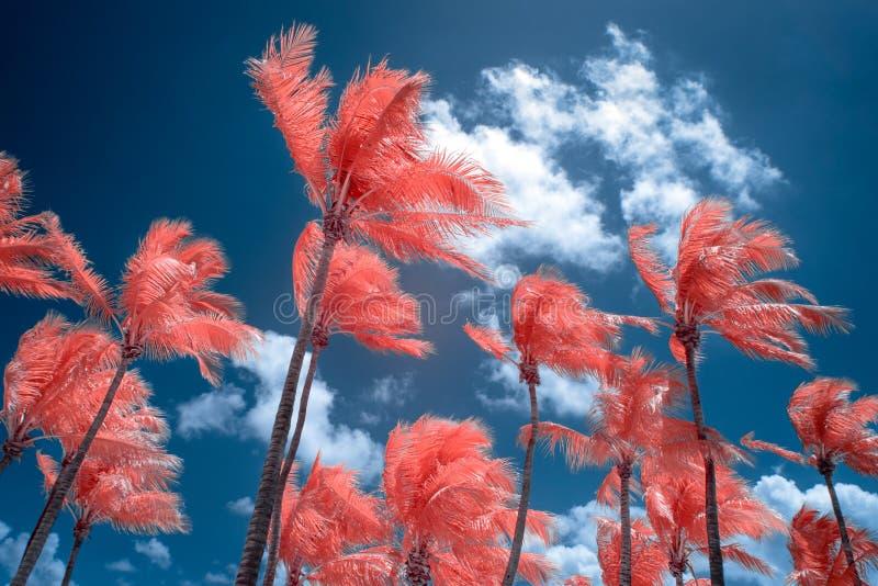Koloru Infrared niebo przy Key West i drzewka palmowe, Floryda fotografia royalty free