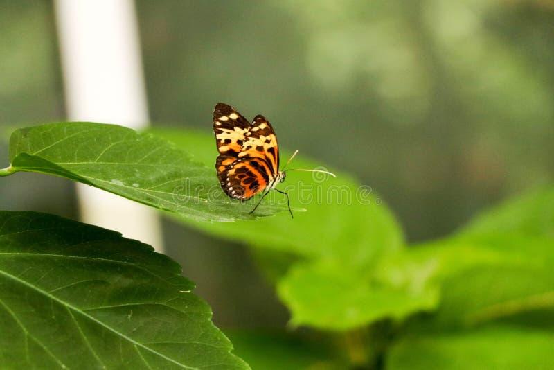 Koloru motyl na liściu drzewo obraz stock