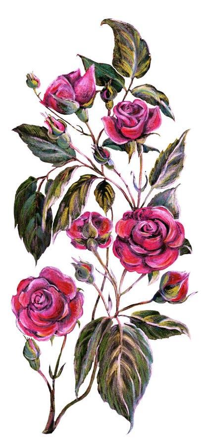 Koloru ołówka menchii róża Kwiat gałąź ilustracji