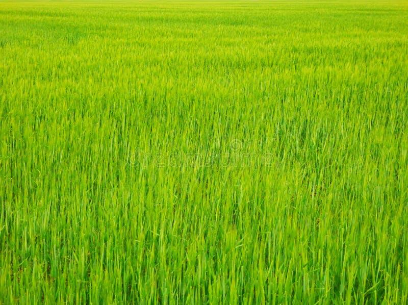 Koloru szczegółu fotografia świeży zbożowy pole zdjęcia royalty free