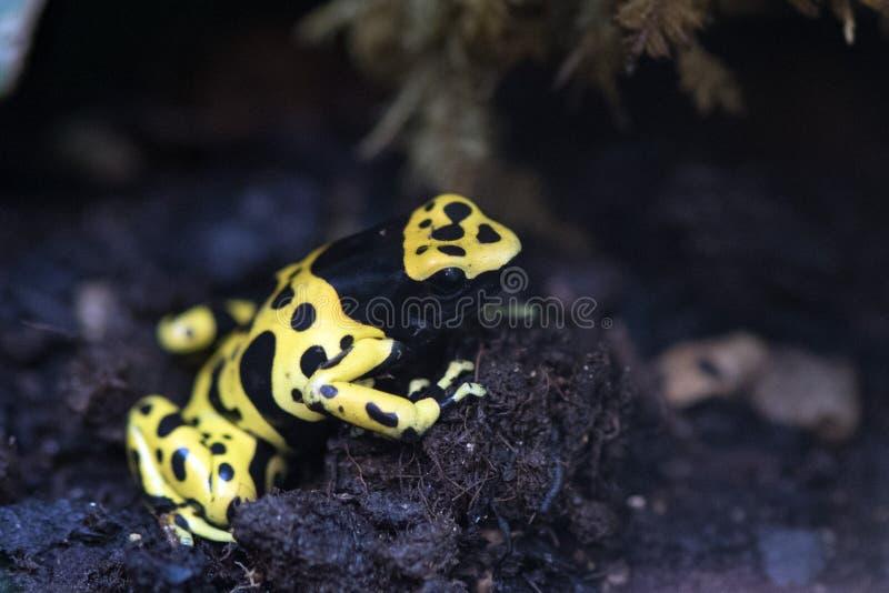 Kolory żółci przewodzący jad żaby dendrobates leucomelas zdjęcie stock