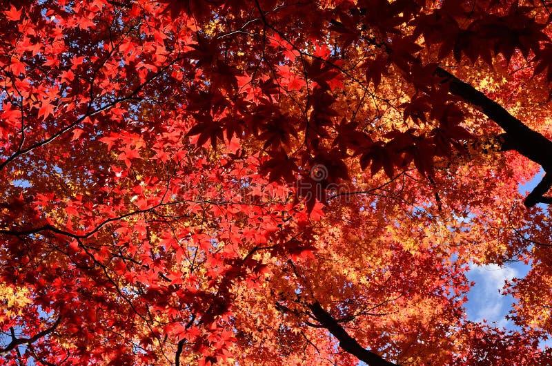 Kolory jesień liście, Japonia fotografia royalty free