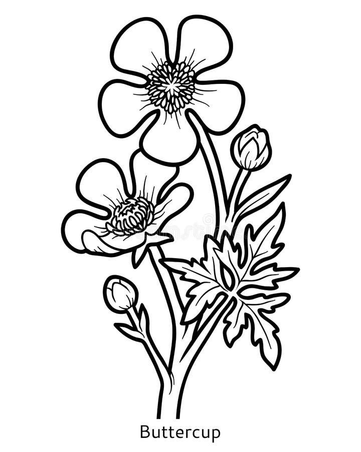 Kolorystyki książka, kwiatu jaskier royalty ilustracja