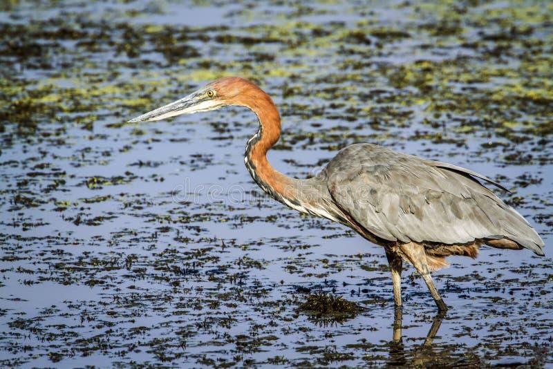 Kolosshäger i den Kruger nationalparken fotografering för bildbyråer