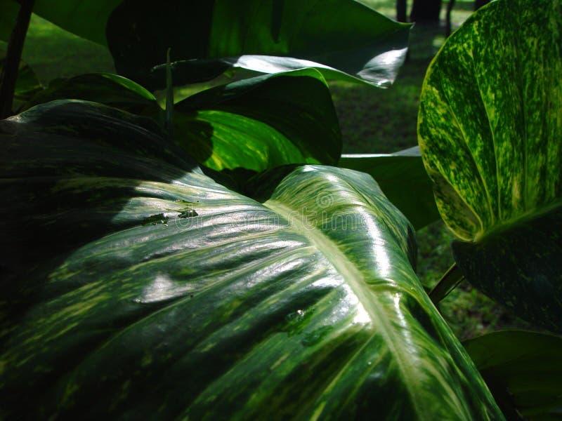 Kolsyrade Philodendronblad royaltyfria bilder
