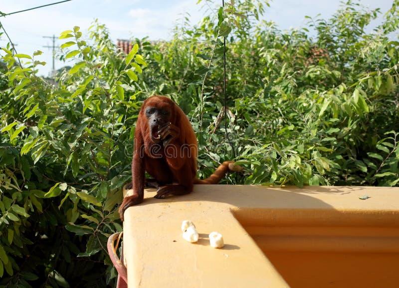 Kolumbijska czerwona wyjec małpa obrazy royalty free