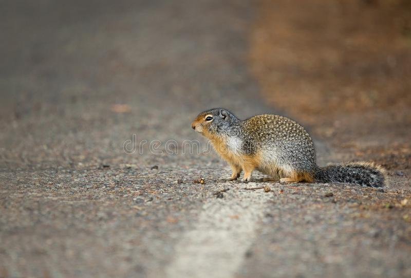 Kolumbijska Zmielona wiewiórka w Montana obrazy stock