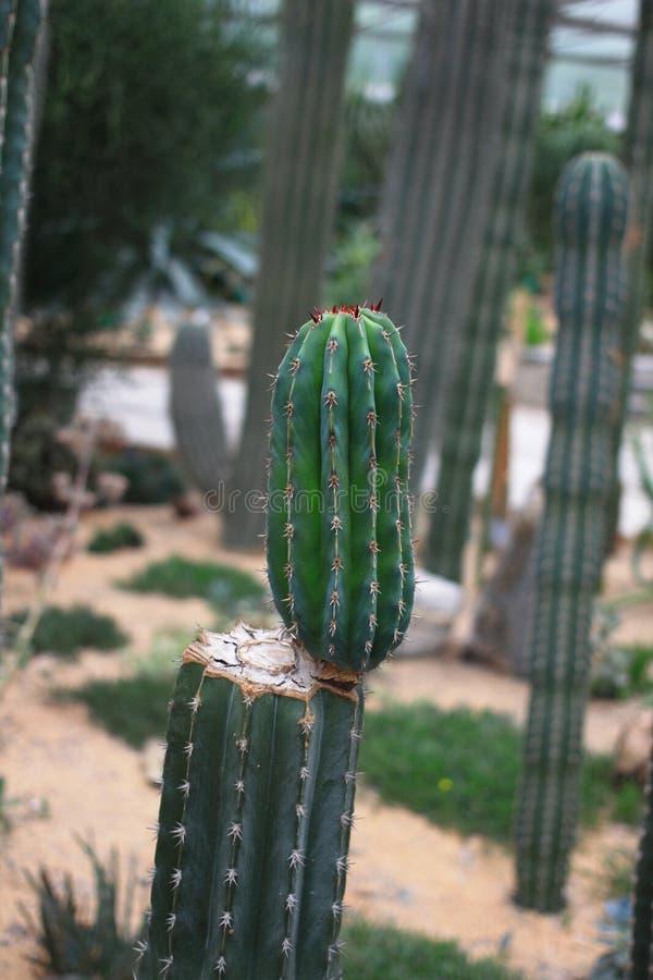 Kolumnowy kaktus zdjęcia royalty free