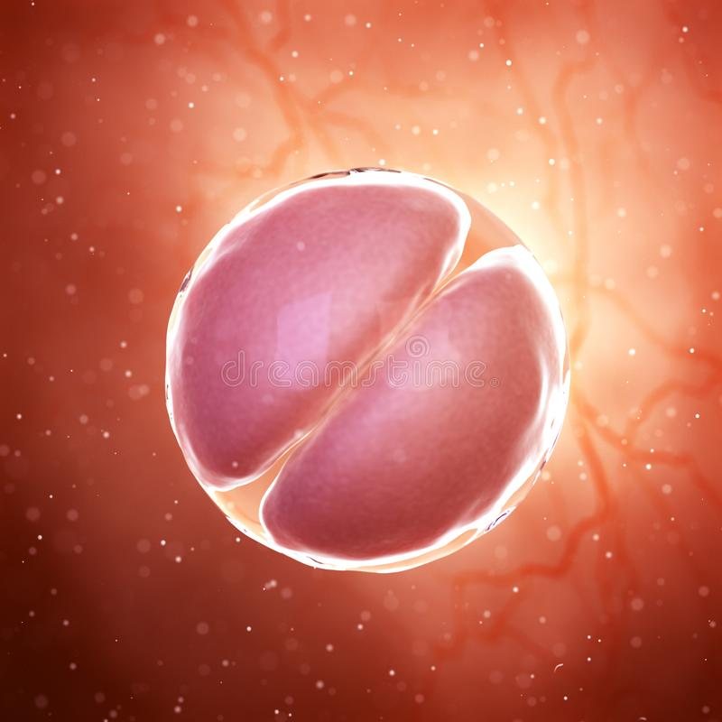 2 komórek sceny płód royalty ilustracja