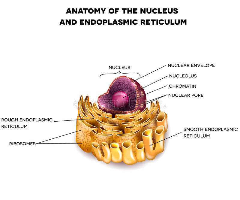 Komórki jądro i Endoplasmic reticulum ilustracja wektor