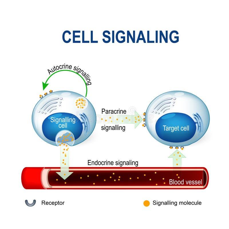 Komórki sygnalizować intracrine, autocrine i dokrewni sygnały, ilustracji