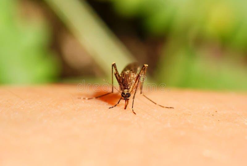 komar obrazy royalty free